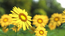 sunflower-1421011_1920.jpg